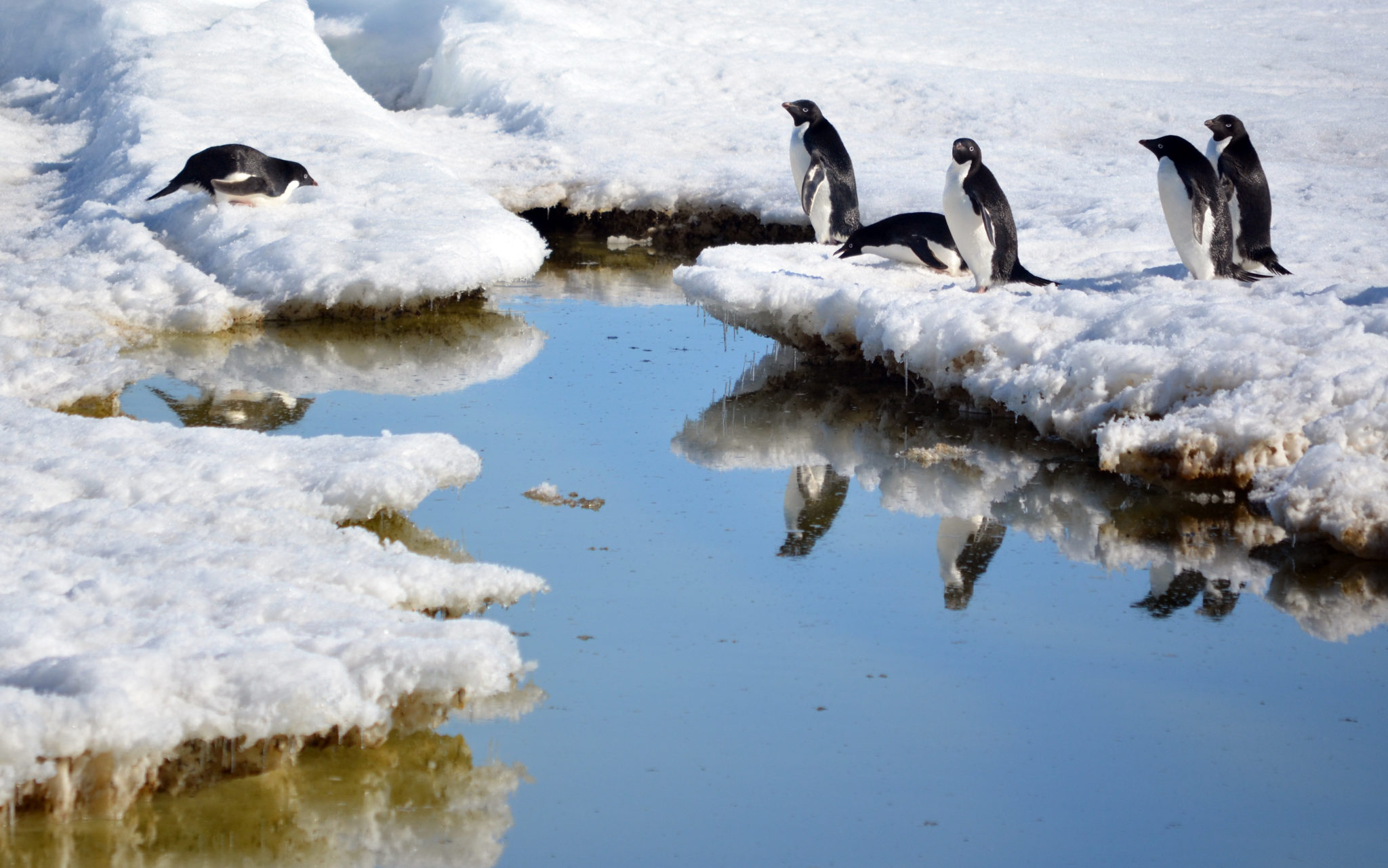 royds-penguins-ice-floe-group